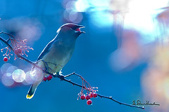 I got the world on string. Sittin' on a rainbow. (wildphotons) Tags: ca bravo cedar paloalto waxwing bombycillacedrorum naturesfinest abigfave impressedbeauty animalencountersnw