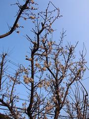 Japanese plum (matsuyuki) Tags: flower blossom plum apricot japaneseplum plumblossom japaneseapricot