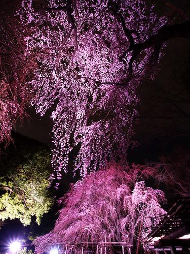 六義園しだれ桜 1