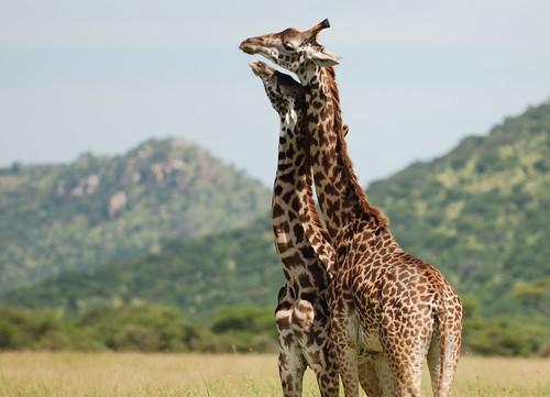 Giraffe's Embrace