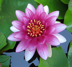 Water Lily Reflection (photoholic1) Tags: flower macro nature water ilovenature waterlily