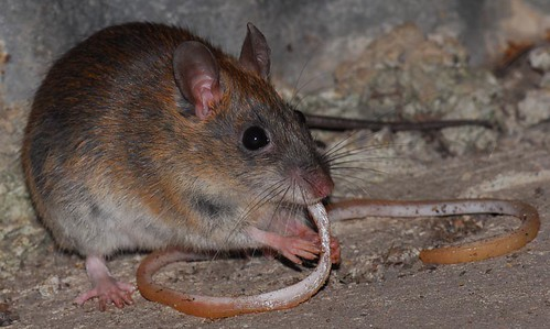 A hungry rat