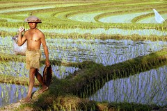 Tabanan (Farl) Tags: travel bali man colors indonesia rice farming terraces culture farmer agriculture development tabanan