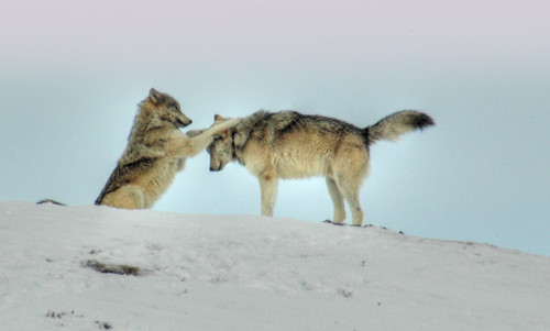 Wolves of Yellowstone by Steven Ford / snowbasinbumps