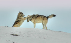 Wolves of Yellowstone (Steven Ford / snowbasinbumps) Tags: wolf wolves yellowstone cold snow stevenford fordesign specanimal wyoming wildanimals bonzag rightplacerighttime onephotoweeklycontest goldwildlife topofutah lifeelevated utahtravel utah ogden fotografia naturalistica fotografianaturalistica westerntravel snowbasinbumps fordesignnet sports 3000views 120favs 300 views 14 faves