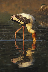 painted stork feeding at dawn (wildlens) Tags: wild india colour bird nature birds vertical asian nikon asia natural wildlife indian  colourful avian gujarat jadeja portraitformat manjeet yograj manjeetyograjjadeja