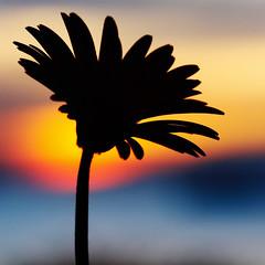 moment of prayer (DocTony Photography) Tags: sunset sky sun flower macro bravo searchthebest gerbera interestingness2 i500 explorefrontpage specnature nikond80 wowiekazowie diamondclassphotographer flickrdiamond doctony explore24feb07