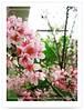 棲蘭櫻花林3