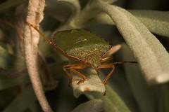 "Green Shield Bug (Palomena prasina)(1) • <a style=""font-size:0.8em;"" href=""http://www.flickr.com/photos/57024565@N00/403496715/"" target=""_blank"">View on Flickr</a>"