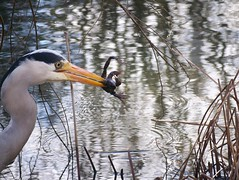 Grey Heron and Common Frog in Globe Pond