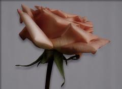 Soft Rose (Kirsten M Lentoft) Tags: pink flower rose soft momse2600 kirstenmlentoft