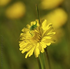 The day of the locust... (fiorinolatino) Tags: primavera yellow giallo grasshopper fiore zuiko insetto cavalletta naturesfinest zd locusta fourthirds olympuse1 fiorinolatino aplusphoto