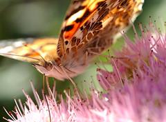 Vanessa cardui (anjoudiscus) Tags: 2005 vanessa macro nature butterfly d70 lumire couleurs lepidoptera papillon septembre paintedlady vanessacardui monjardin anjou lpidoptre belledame