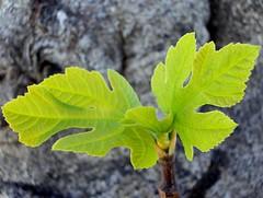 Ficus carica (IV) (.Bambo.) Tags: flora botánica higuera figues figuera xirivella moraceae lhortasud ficuscarica hortabaixa