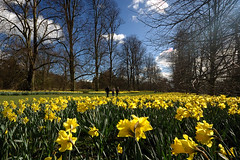 Daffodils in Nowton Park - by Andrew Stawarz