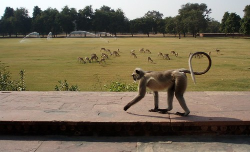 Monkey walking peacefully
