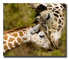 A Mother's Love (nailbender) Tags: love nature ilovenature zoo top20np birmingham bravo affection alabama spots giraffe rowan naturesfinest zoofari blueribbonwinner nailbender bestofmagiccity parkstock flickrsbest specanimal animalkingdomelite abigfave anawesomeshot superaplus aplusphoto qemdfinchadminfave diamondclassphotographer morefu jdmckinnon