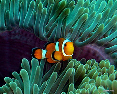 Clownfish at Koh Bon Island, Thailand (_takau99) Tags: ocean trip travel bon sea vacation fish macro uw topf25 water topv111 coral topv2222 thailand island march topf50 topv555 nikon marine topf75 asia underwater nemo topv1111 topv999 indianocean topv444 scuba diving explore topv5555 clownfish anemone tropical coolpix scubadiving topv777 phuket topv9999 topv11111 topv3333 topv4444 topf100 topf10 topf250 topf200 anemonefish similan 2007 andaman andamansea topv888 topv8888 topv6666 topv7777 topf5 topf20 amphiprionocellaris westridge ocellaris topf30 topf40 explore9 amphiprion topv22222 clownanemonefish 123nature kohbon takau99 explore100 explore10 edive