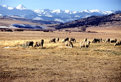 Sheep grazing in Montana