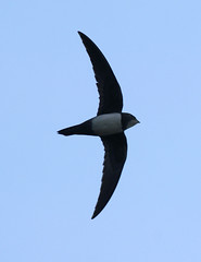 vencejo real - ballester - Alpine Swift - apus...