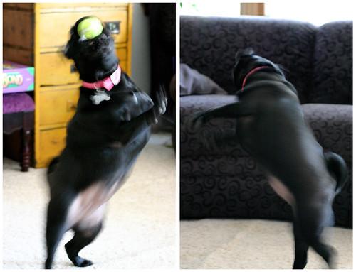 dancing pug