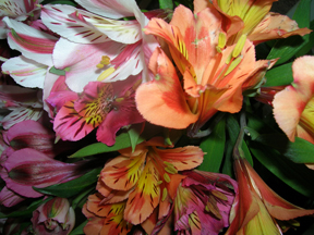 Alstroemeria in pretty spring colors