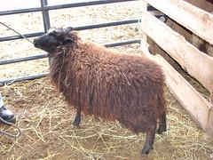 Sheepy 001