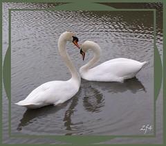 Les noeuds et l'amour (francois et fier de l'Être) Tags: coeur amour cou cygnes kiss2 noeud kiss1 francoisetfier flickrdiamond bestofr