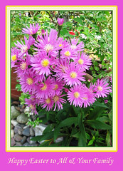 Happy Easter! Happy Asters in our garden!