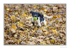 The Big Adventure (Seven_Wishes) Tags: newcastleupontyne elswickpark autumn autumnal leaves dof depthoffield pet dog animal spaniel springerspaniel englishspringerspaniel canoneos1dmarkiv canonef100400mmf4556lisii jo outdoor photoborder running ears floppyears tennisball ball whiskers eyes puppy blackandwhite wideeyed bugeyed