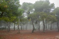Niebla en el bosque (Teresa Esteban) Tags: zuera pinar pinos árbol árboles zaragoza aragón españa