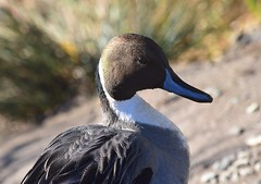 Northern Pintail (careth@2012) Tags: