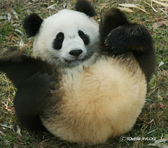 diaper check (somesai) Tags: animal animals smithsonian panda endangered pandas butterstick animalkingdomelite impressedbeauty lmaoanimalphotoaward