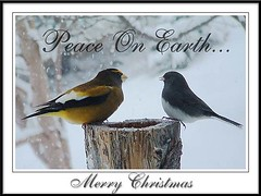 A Christmas Card (Clyde Barrett) Tags: christmas newfoundland junco nl grosbeak nfld darkeyedjunco juncohyemalis coccothraustesvespertinus eveninggrosbeak featheryfriday clydebarrett
