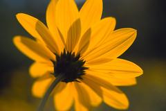 Fleur en contre-jour (boleroplus) Tags: macro fleur horizontal jaune vert toscane fiesole italie contrejour diapositive Été imagepoint