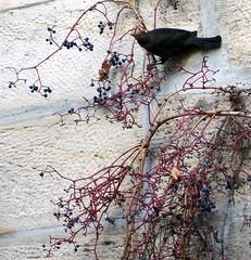 Mein Wein ! (happycat) Tags: bird animal wall fruit germany bayern vine kc franken beere frucht tier vogel mauer wein parthenocissus oberfranken kronach wilderwein jungfernrebe