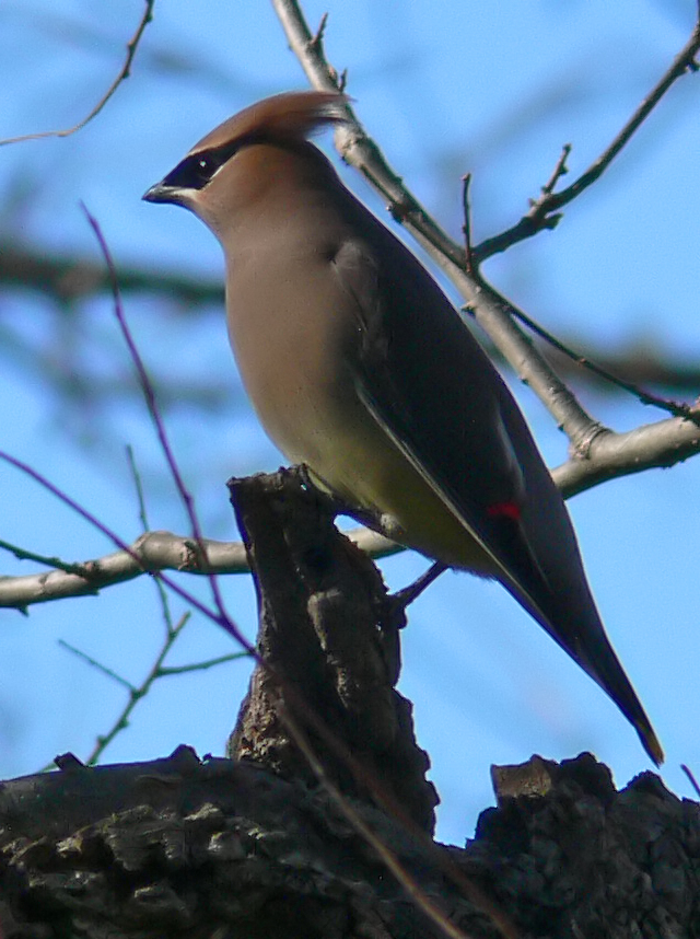 Cedar Waxwings on St. Stephen's Day--photo 5