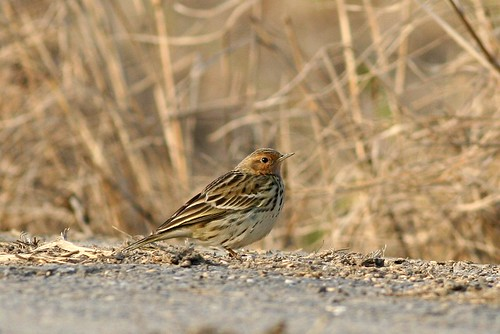 ??? Red-throated Pipit