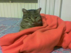 Gratta a letto (olmoequipe) Tags: pet cats pets animal animals cat gatto gatti animali cucciolo gattino cuccioli gratta animalidomestici olmoequipe