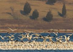 Snow Geese Carrier Landing 5x7 1429 (danaman) Tags: snowgeese merrillcreekreservoir