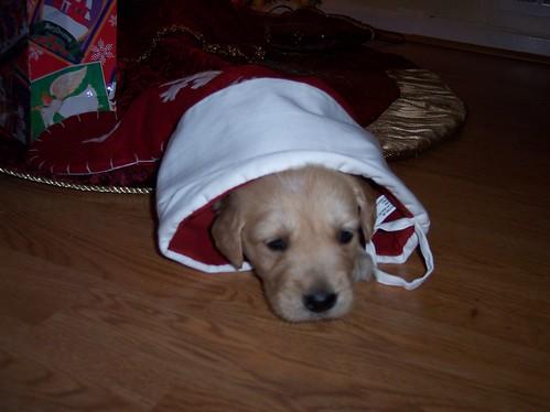 Brinkley's 1st Christmas
