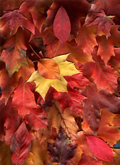October Colors (lucidcats) Tags: autumn red orange brown fall leaves yellow vancouver canon washington leaf october state wa canoscanlide50 adobephotoshopelements20 octobercolors thebestyellow