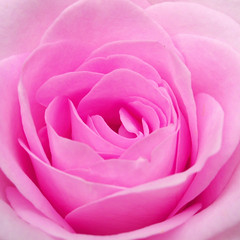 Hold me close.... (cattycamehome) Tags: pink flowers roses flower macro nature beauty rose tag3 taggedout lyrics bravo tag2 all tag1 searchthebest blossom song  pinky rights sing bloom reserved edithpiaf excellence louisarmstrong gracejones catherineingram lavieenrose outstandingshots abigfave january2007 impressedbeauty cattycamehome allrightsreserved