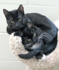 Adorable Pair of Black Kittens - all Entwined (Pixel Packing Mama) Tags: gorgeous adorable tuxedokitties catsandkittensset furryfriday blackcats cutekittens bcb heartlandhumanesociety v1000 pixelpackingmama siblingspool dorothydelinaporter worldsfavorite views1000 melfanclub welovelatte tobysgroupies cc1400 montanathecat~fanclub catcentury catscookiecatfriends theoneblackcat favoritedpixset spcacatspool spcacats cat1400 justmoggiespool nuggetspool canonpowershota540pool views1000andupdomesticcatsonlypool views12501500pool blackanimalspool uploadedfirsthalfof2007set uploadedfirsthalf2007 multiplecatspool monochromepetspool oversixmillionaggregateviews over430000photostreamviews
