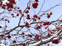 Winter Berries (coukee) Tags: snow branchs dogberries flkwrk