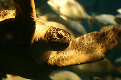 Which way to the EAC? (Dr Reelgood) Tags: chattanooga aquarium tennessee tortoise ps seaturtle 2007