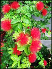 A lovely bush of Calliandra/Inga emarginata or Powderpuff
