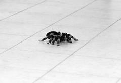 The tarantula series - by Pulpolux !!!