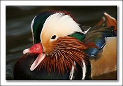 Such a happy duck (hvhe1) Tags: bird nature birds animal animals duck bravo searchthebest quality wildlife mandarin mandarinduck interestingness5 magicdonkey specnature specanimal animalkingdomelite abigfave hvhe1 hennievanheerden anawesomeshot