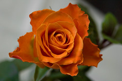 alles gute  ---  all the best (derbaum) Tags: rose blte